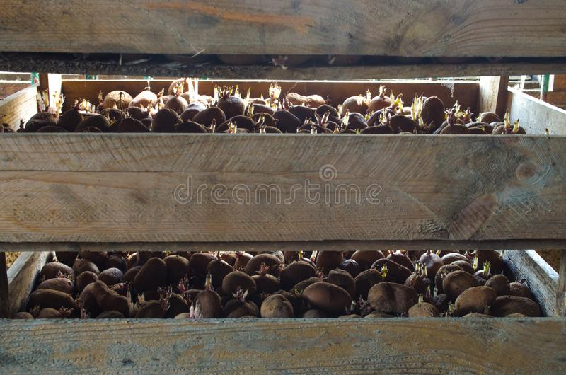 Germinating seed potatoes with roots in wooden boxes. Preparation of potatoes for sowing in the ground. Agro-industrial complex, royalty free stock photo