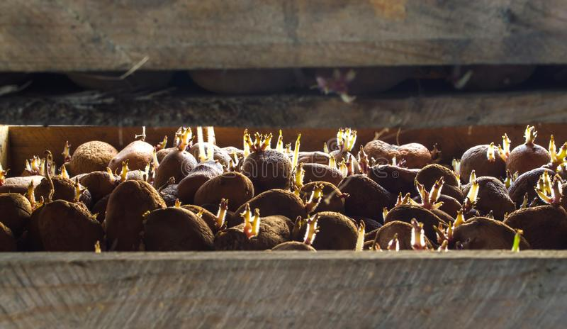 Germinating seed potatoes with roots in wooden boxes. Traditional agriculture. Farming. Food stocks, harvest. Preparation of potatoes for sowing in the ground royalty free stock image