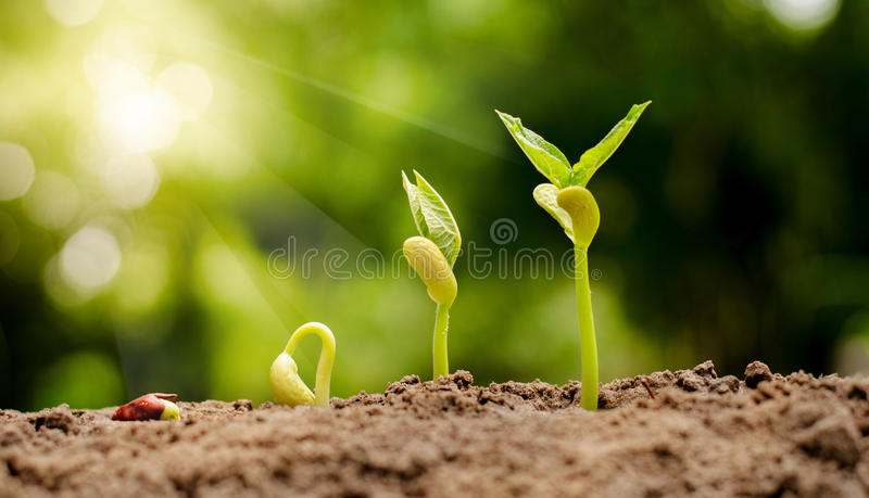 Germinating seed to sprout of nut royalty free stock photography