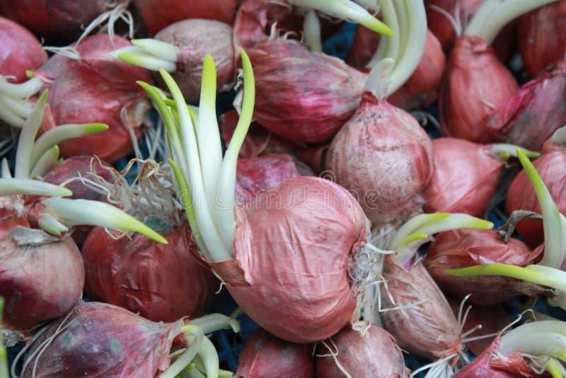 germination fotografia de stock