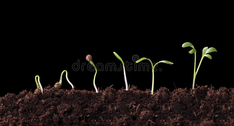 Germination of a cilandro seed royalty free stock photos