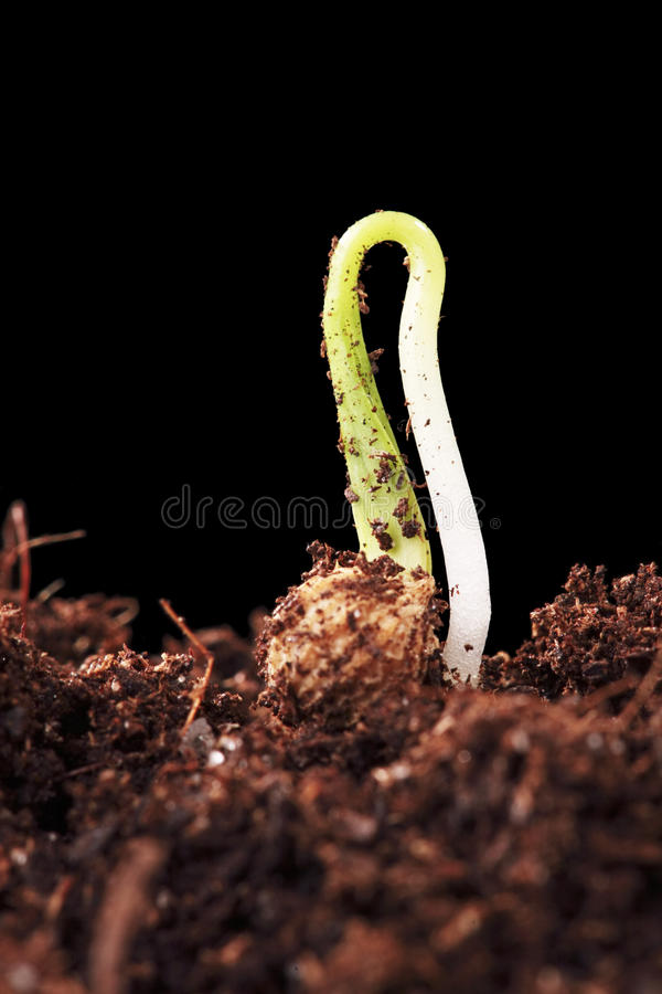 Germination d'une graine de cilandro photo stock