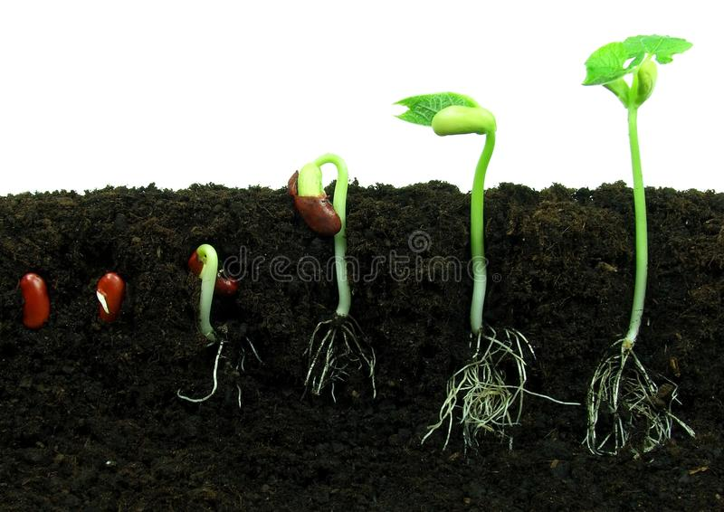 Germination des haricots photographie stock