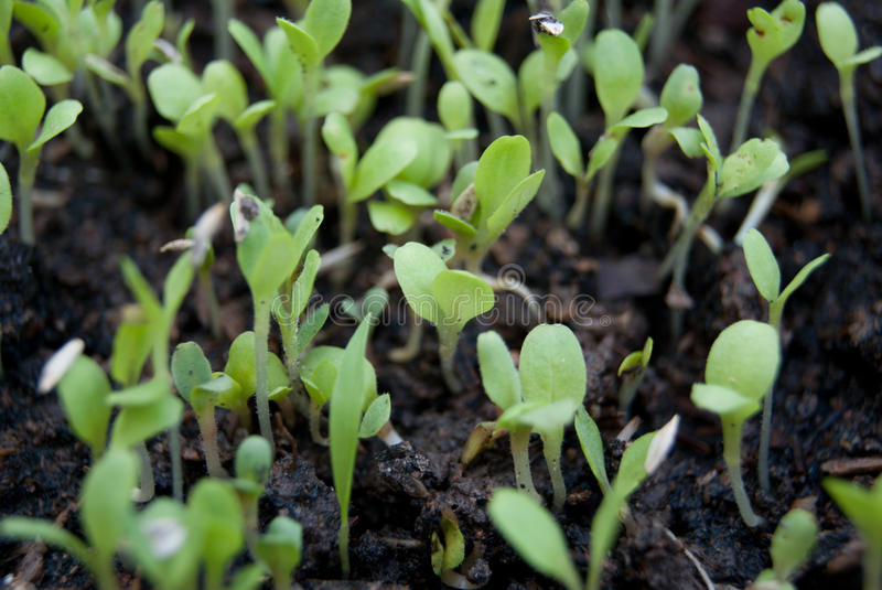 Germination germination tray royalty free stock photography