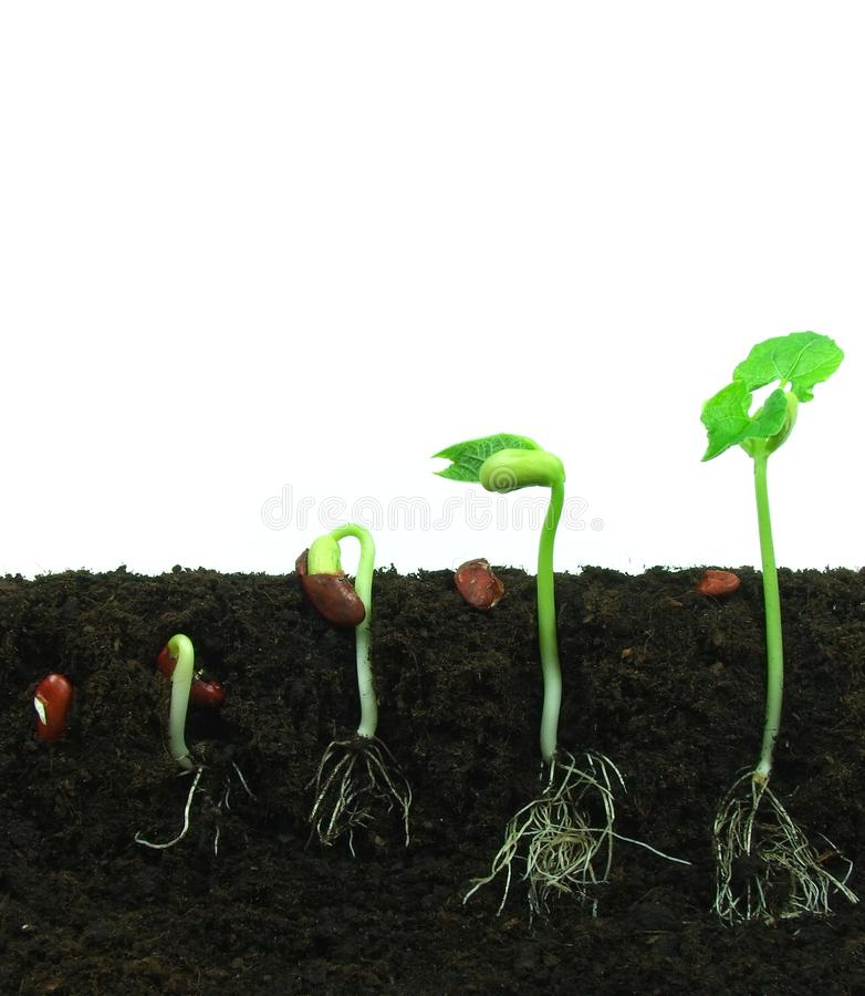 Free Germination Of Beans Royalty Free Stock Photography - 15295457
