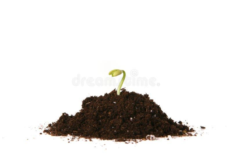 Germination plantée de graine image stock