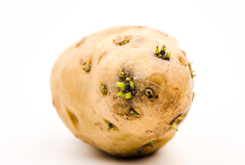 Germination of potatoes royalty free stock image