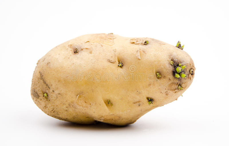 Germination of potatoes stock images