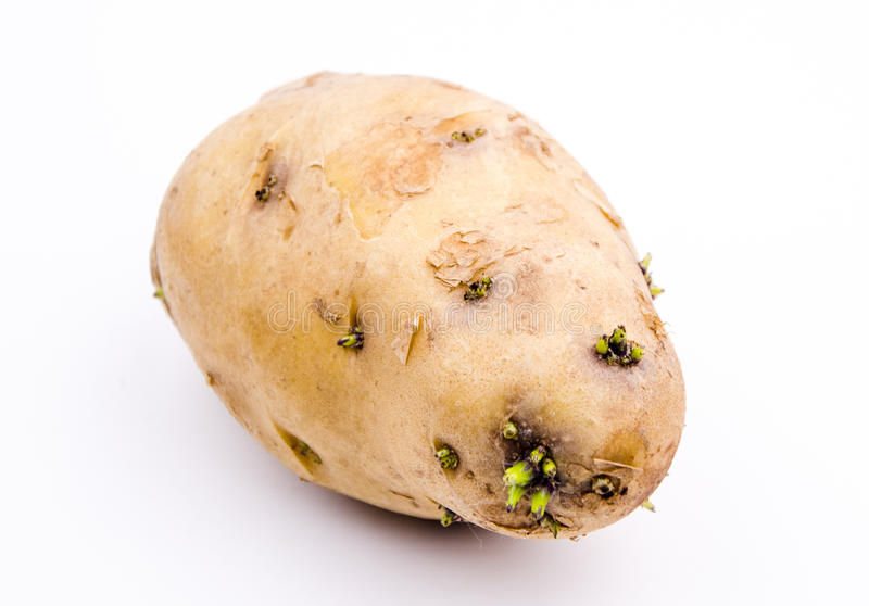 Germination of potatoes stock image