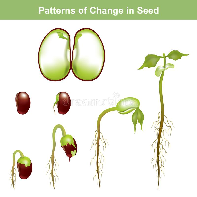 Germination of seed. Education info graphic. stock illustration