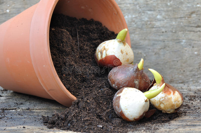 Germination of tulip bulbs stock images