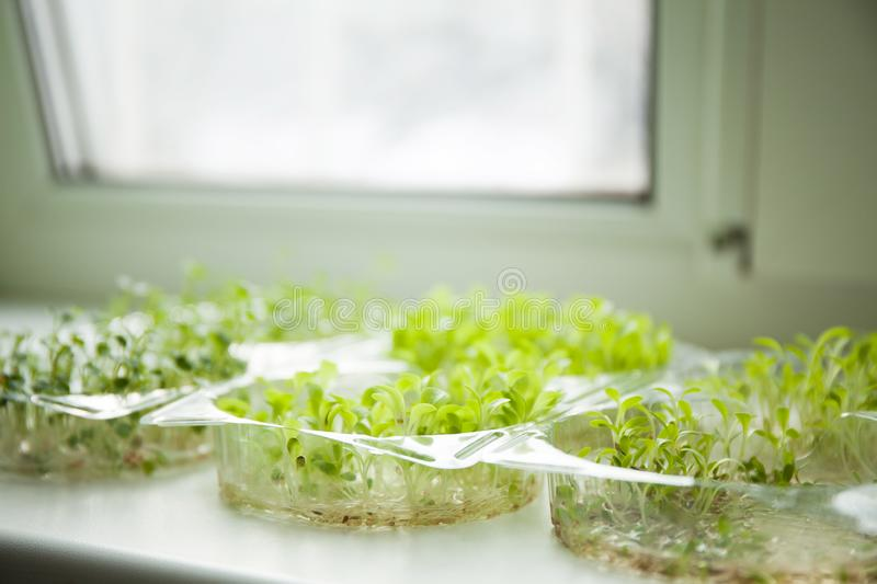 Germination of young shoots on the windowsill stock photos
