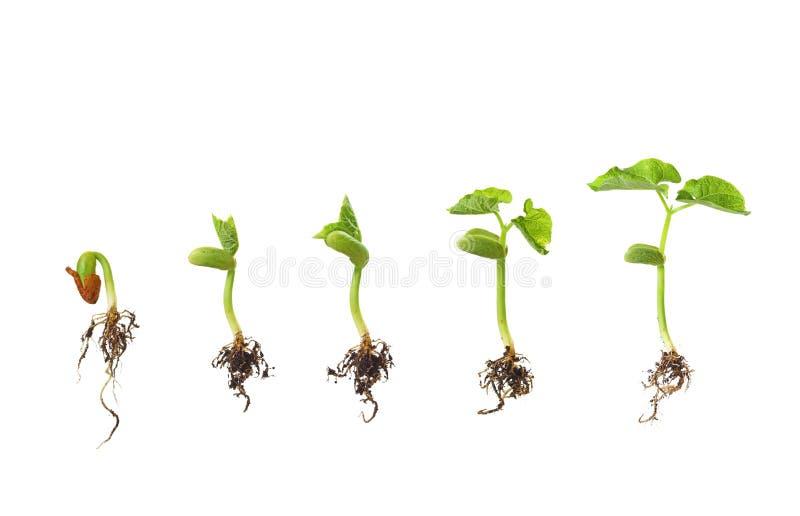 Germinazione dei semi del fagiolo isolata su bianco fotografia stock libera da diritti