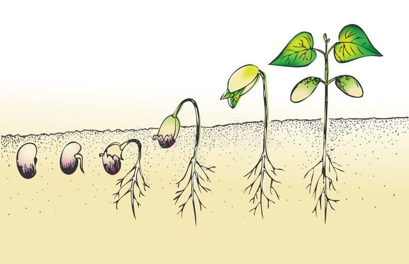 Germinazione del seme del fagiolo illustrazione vettoriale