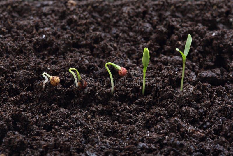 Germinazione della pianta del coriandolo (prezzemolo) fotografia stock libera da diritti