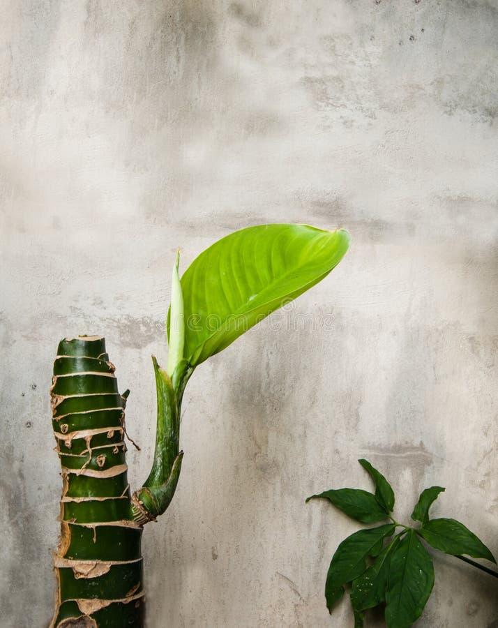 Germine de la planta del Dieffenbachia con la pared del cemento fotos de archivo