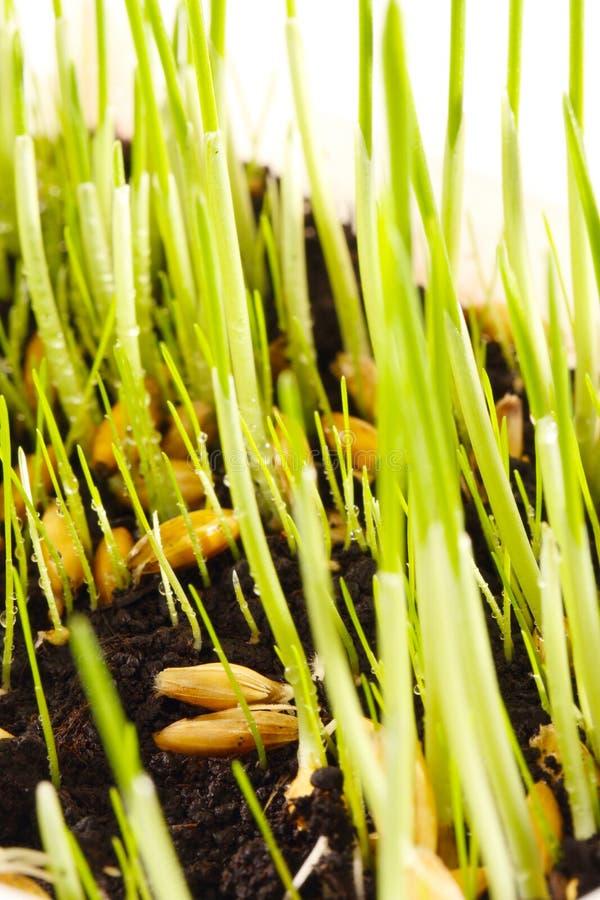 Germine y brote de las semillas fotografía de archivo