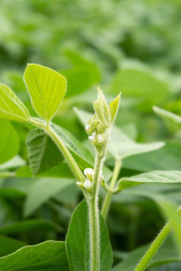 Germogli dei giovani del giacimento della soia che fioriscono le foglie fotografie stock libere da diritti