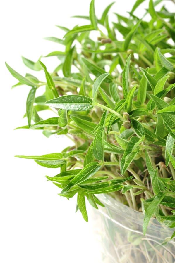Germogli del fagiolo verde immagini stock libere da diritti