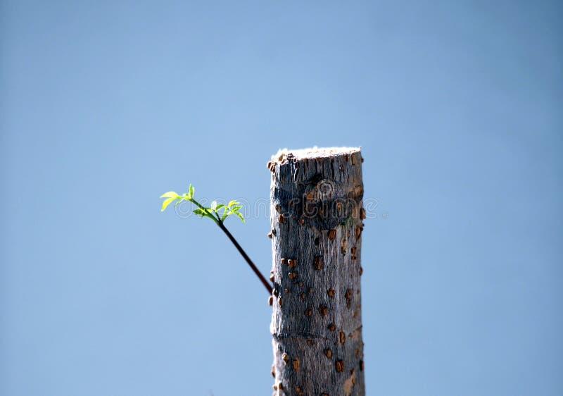 Germogli del germoglio dagli alberi morti fotografia stock libera da diritti