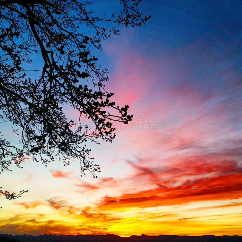 Germogli dell'albero di gelso della primavera che godono del tramonto fotografia stock