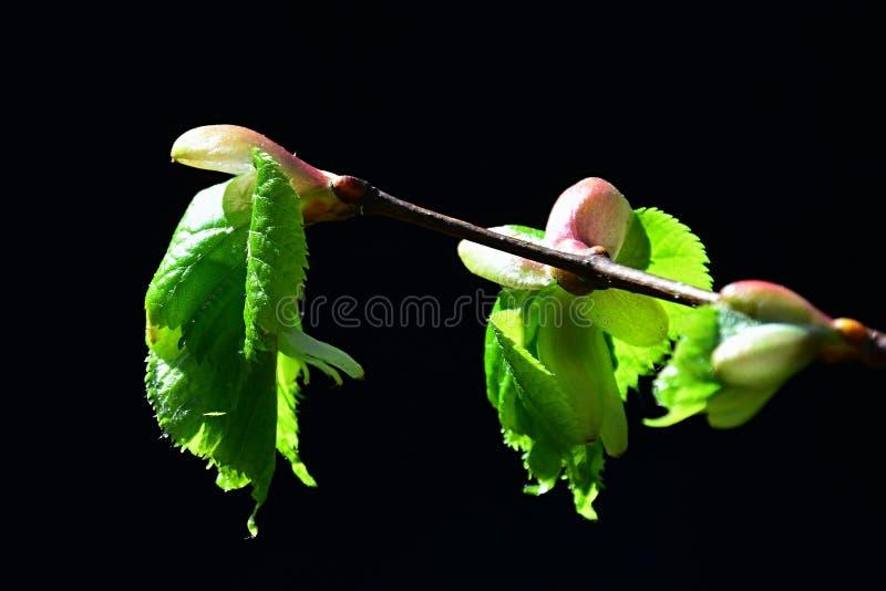 Germogli della primavera e giovani foglie di tilia giapponese Japonica della calce su fondo nero fotografie stock