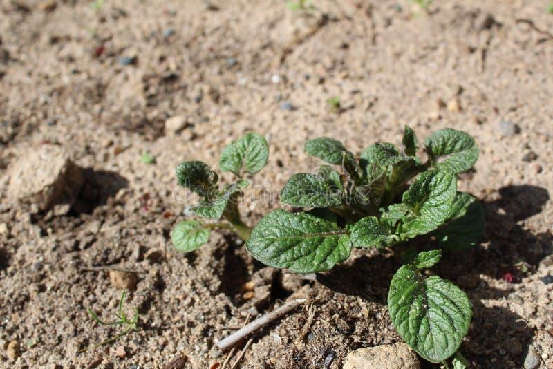 Germogli delle patate fresche nel suolo di estate immagini stock