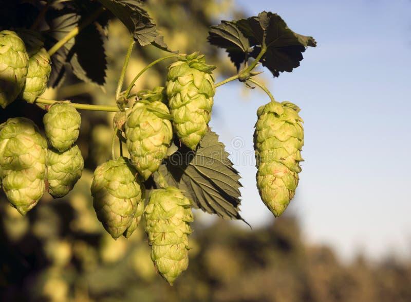 Germogli delle piante di luppolo che crescono nell'agricoltura dell'Oregon del campo dell'agricoltore fotografia stock libera da diritti