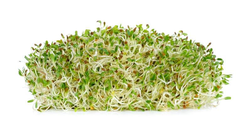 Germogli di alfalfa isolati sui precedenti bianchi fotografia stock