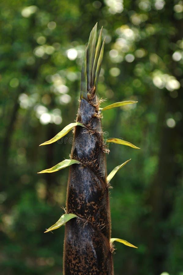Germogli di bambù fotografie stock