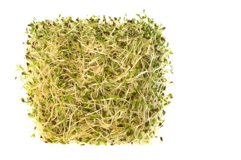 Germogli di erba medica organici isolati immagine stock