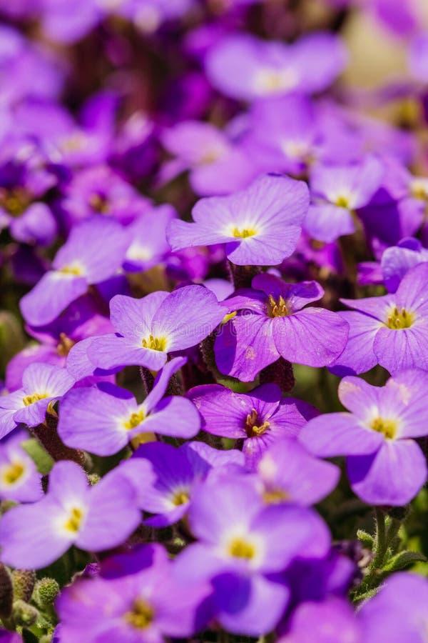Germogli di fiore di Aubrieta nel giardino immagini stock libere da diritti