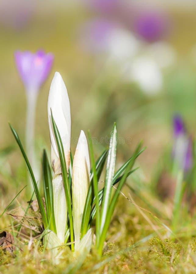 Germogli di fiore bianchi del croco in primavera immagini stock