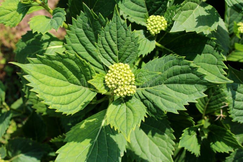 Germogli di fiore bianco di Hortensia o dell'ortensia fotografia stock libera da diritti