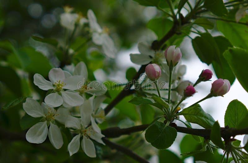 Germogli di fiore circondati dai fiori bianchi immagine stock libera da diritti