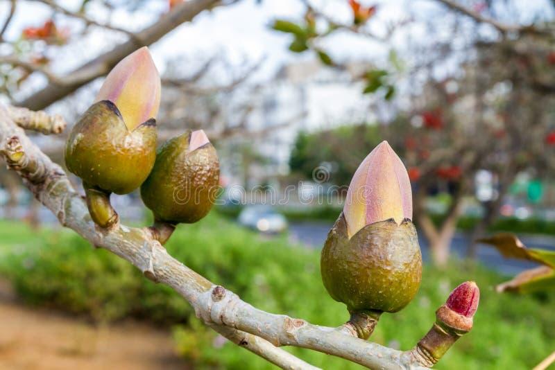Germogli di fiore dell'albero di ceiba del Bombax fotografia stock libera da diritti