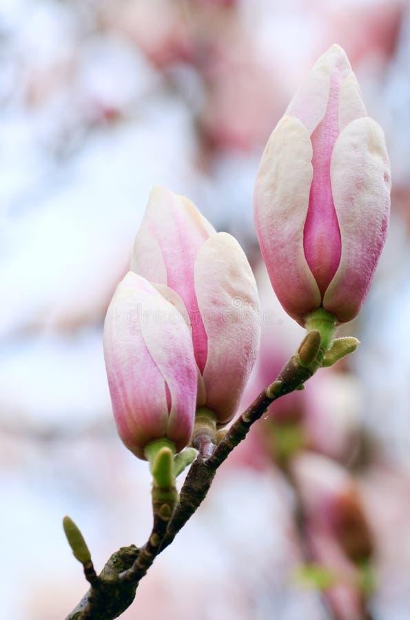 germogli di fiore dell'Magnolia-albero fotografia stock