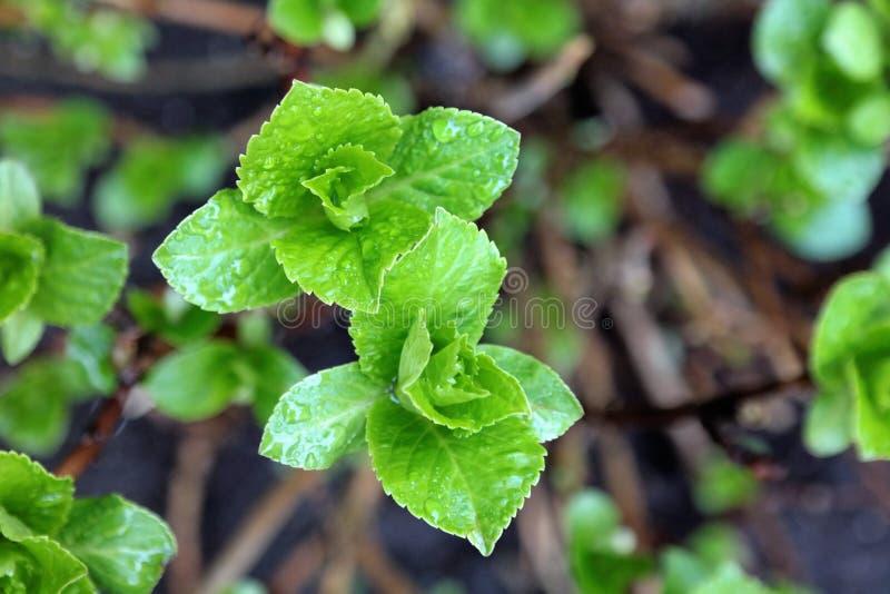 Germogli di fiore dell'ortensia in primavera, immagine stock libera da diritti