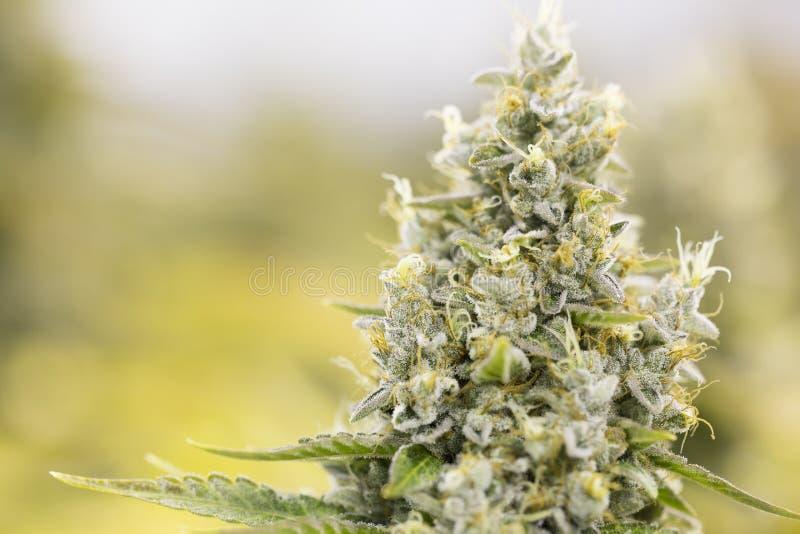 Germogli di fioritura della marijuana (cannabis), pianta della canapa Raccolto dell'interno molto grande dell'erbaccia immagine stock