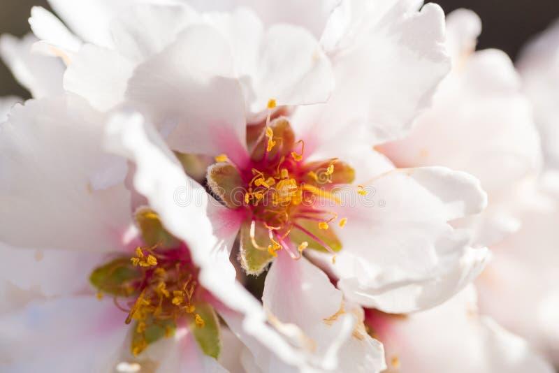 Germogli di stagione primaverile del cielo blu dei fiori della mandorla fotografia stock libera da diritti