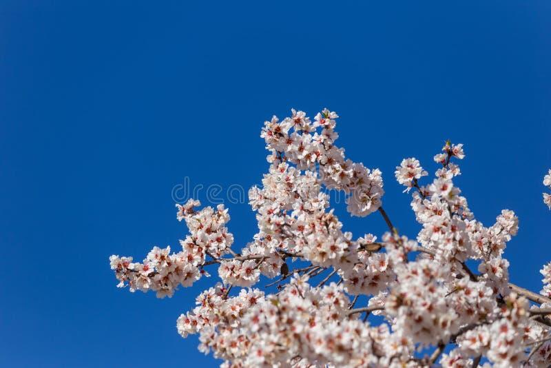 Germogli di stagione primaverile del cielo blu dei fiori della mandorla immagine stock