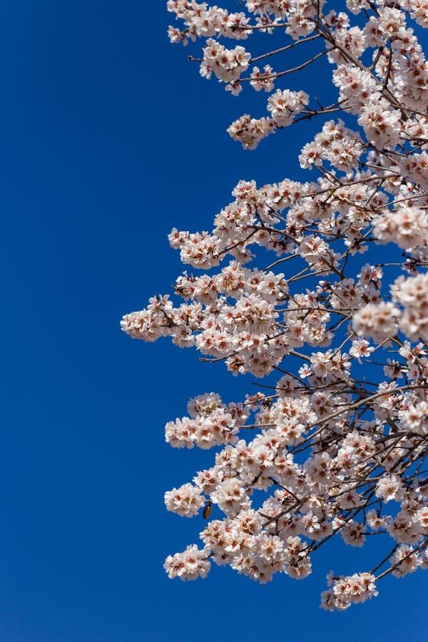 Germogli di stagione primaverile del cielo blu dei fiori della mandorla fotografie stock libere da diritti