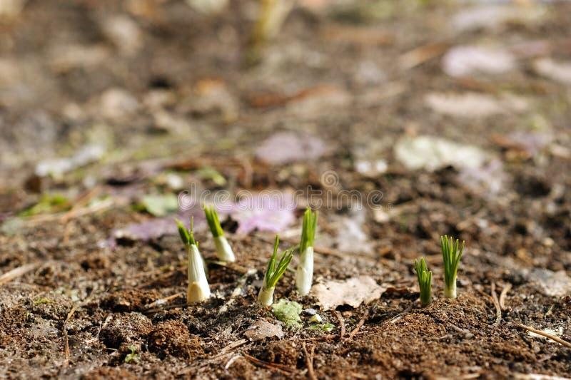 Germogli di verde che crescono fuori dal suolo fotografia stock