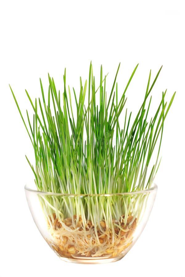 Germogli di verde di grano in una ciotola di vetro fotografia stock libera da diritti