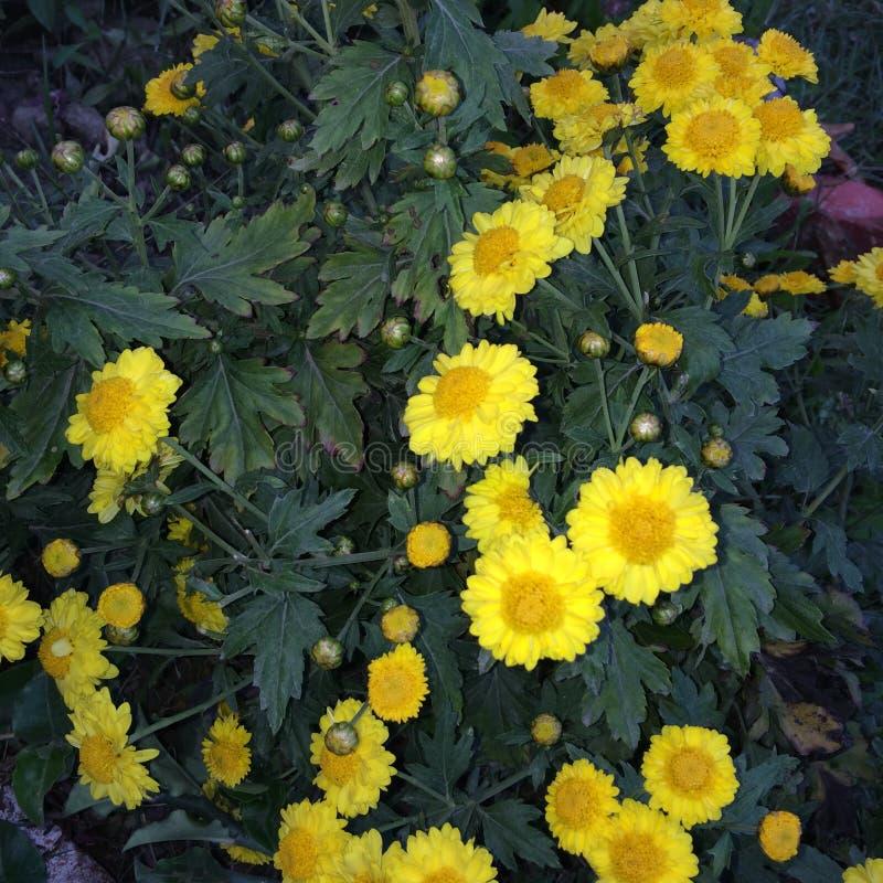 Germogli e fiore del girasole immagini stock libere da diritti