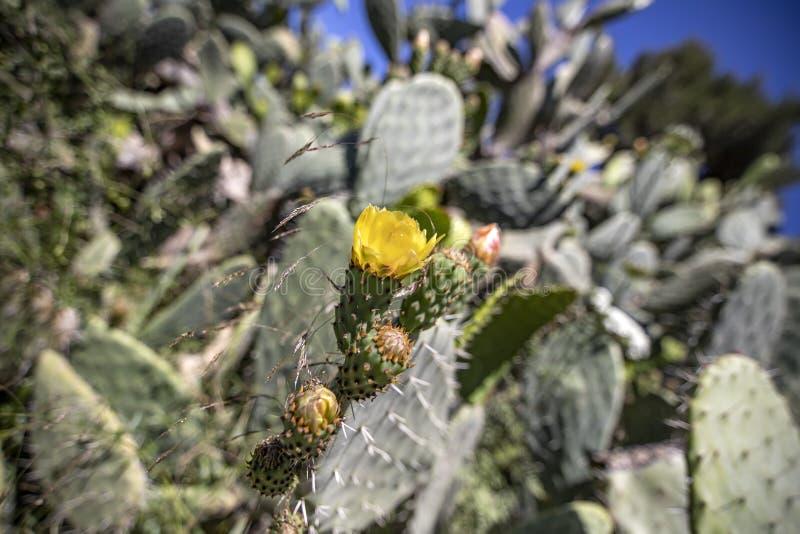 Germogli e fiori del cactus di Sabra contro un fondo confuso dei boschetti spinosi immagini stock libere da diritti