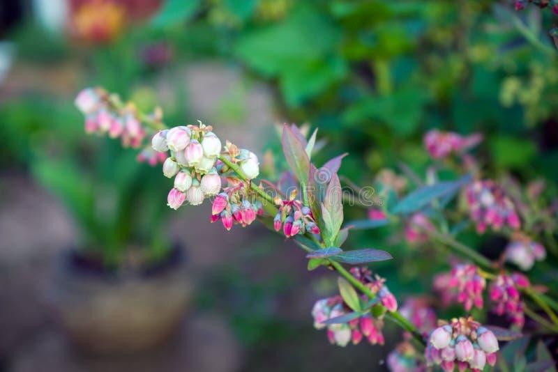 Germogli e fiori del mirtillo su un cespuglio immagine stock