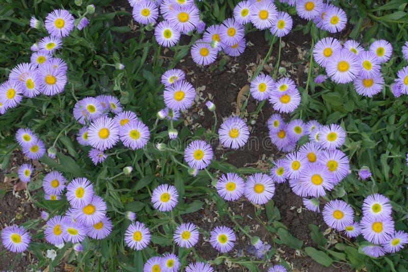 Germogli e fiori dello speciosus di erigeron fotografia stock