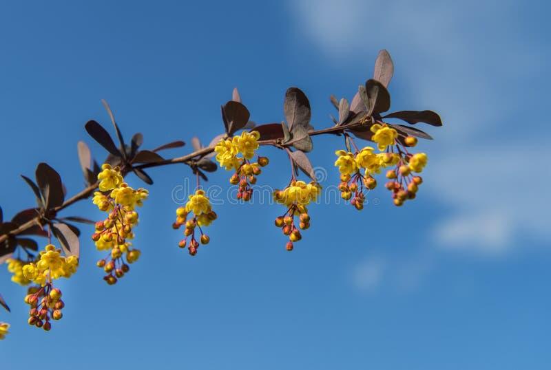 Germogli e fiori sul ramo su cielo blu, primo piano fotografia stock libera da diritti