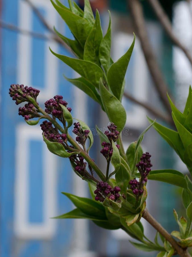 Germogli e foglie sul ramo fotografia stock libera da diritti